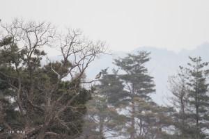 140227_新潟県新発田市放鳥トキ