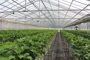 齋藤農園イチゴ栽培ハウス