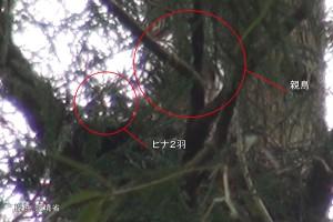 ヒナ2羽に給餌するNo.86(オス)