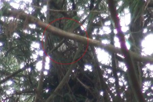 巣を整えた後、抱卵する個体