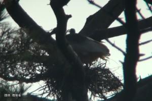 2羽で巣を整える