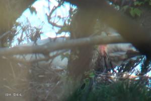 ヒナに給餌するメス#153