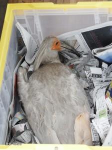 保護・収容された幼鳥(足環なし)