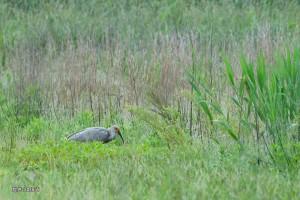 草地で探餌する幼鳥