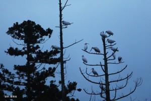 放鳥トキ11月写真その1