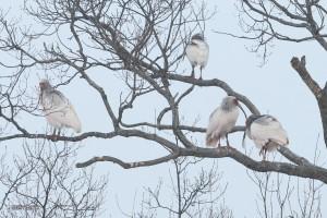 放鳥トキ1月その2