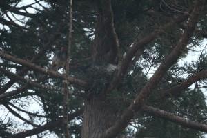 巣を整えるオス(#50)と横にとまるメス(#157)
