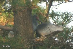 2羽で巣を整えた後抱卵する足環のない個体