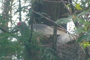 巣を整える2羽(#138,#195ペア)
