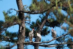 放鳥トキ5月写真2