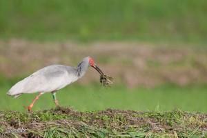 放鳥トキ5月写真3