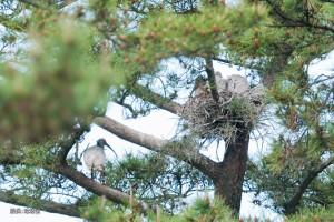 放鳥トキ5月写真1