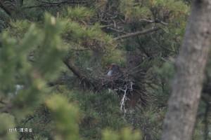 2羽で巣を整え抱卵する#68
