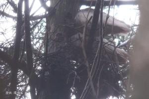 2羽で巣を整える#74,足環なしペア