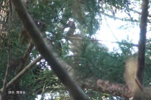 枝を運ぶ#86と巣を整える#134