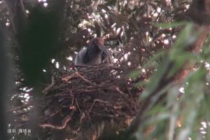 2羽で巣を整える足環なし,#A21ペア