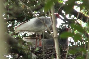 巣を整えた後抱卵する足環のない個体