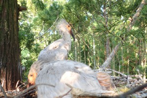 巣に戻されたヒナ