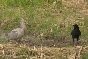 あぜで探餌する幼鳥(#B10)とカラス