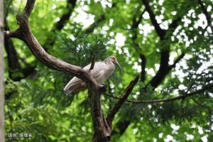 木にとまる#84と今年生まれの足環のない幼鳥