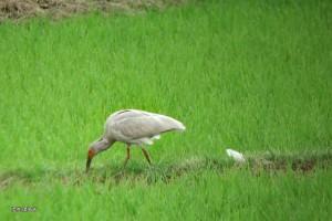 畦で採餌する今年生まれの幼鳥